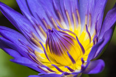 Πορφυρό Lotus Στοκ Εικόνα