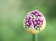 Πορφυρός Allium οφθαλμός Στοκ φωτογραφία με δικαίωμα ελεύθερης χρήσης