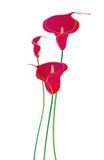 Πορφυρός calla κρίνος Στοκ εικόνα με δικαίωμα ελεύθερης χρήσης