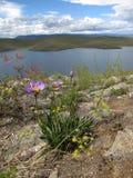 Πορφυρός chamomile Στοκ Φωτογραφία
