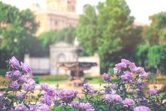 Πορφυρό άνθος λουλουδιών τριαντάφυλλων σε έναν κήπο Στοκ Εικόνες