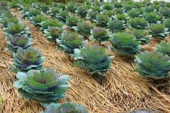 Πορφυρό λάχανο στη φυτική πλοκή Στοκ Φωτογραφίες