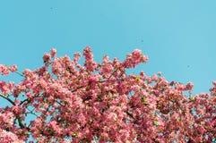 Πορφυρό δέντρο ανθών την άνοιξη με τις μικρές μέλισσες που πετούν γύρω και υπόβαθρο μπλε ουρανού Στοκ Φωτογραφία