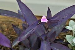 Πορφυρό βγαλμένο φύλλα φυτό με το μικρό ρόδινο λουλούδι στοκ εικόνα με δικαίωμα ελεύθερης χρήσης