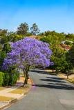Πορφυρό δέντρο Jacaranda στην πλήρη άνθιση στην οδό στα προάστια του Μπρίσμπαν Αυστραλία με τις στέγες κεραμιδιών που παρουσιάζου στοκ φωτογραφίες με δικαίωμα ελεύθερης χρήσης
