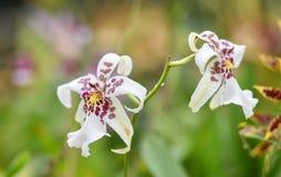 Πορφυρό λευκό λουλουδιών ορχιδεών Στοκ φωτογραφίες με δικαίωμα ελεύθερης χρήσης
