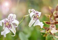 Πορφυρό λευκό λουλουδιών ορχιδεών Στοκ φωτογραφία με δικαίωμα ελεύθερης χρήσης