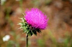 Πορφυρό ζιζάνιο λουλουδιών Στοκ φωτογραφίες με δικαίωμα ελεύθερης χρήσης