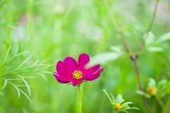Πορφυρό διάστημα λουλουδιών και αντιγράφων άνοιξη Στοκ εικόνες με δικαίωμα ελεύθερης χρήσης