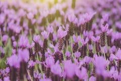 Πορφυρό ισπανικό Lavender Στοκ φωτογραφία με δικαίωμα ελεύθερης χρήσης