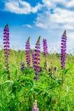 Πορφυρό ιτιά-χορτάρι λουλουδιών με το μπλε ουρανό σε ένα υπόβαθρο Στοκ εικόνες με δικαίωμα ελεύθερης χρήσης