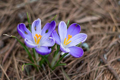 Πορφυρό ιώδες λουλούδι την άνοιξη Στοκ φωτογραφίες με δικαίωμα ελεύθερης χρήσης