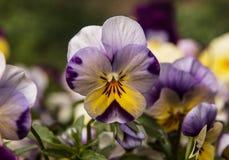 Πορφυρό & κίτρινο Viola Στοκ Εικόνες