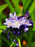 Πορφυρό και άσπρο λουλούδι Agapanthus Στοκ φωτογραφίες με δικαίωμα ελεύθερης χρήσης