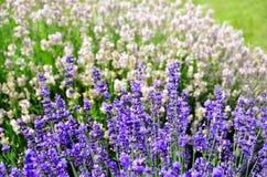 Πορφυρό και άσπρο lavender angustifolia Lavandula λουλουδιών Στοκ Εικόνες