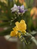 Πορφυρό και κίτρινο Freesia Στοκ Φωτογραφίες