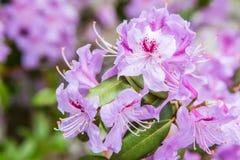 Πορφυρό και ρόδινο λουλούδι άνθισης στοκ εικόνες