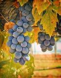 πορφυρό κρασί σταφυλιών Κ&al Στοκ φωτογραφία με δικαίωμα ελεύθερης χρήσης