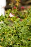 πορφυρό λευκό ακρών λουλουδιών στοκ εικόνες