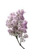 πορφυρό λευκό λουλου&del Στοκ εικόνες με δικαίωμα ελεύθερης χρήσης