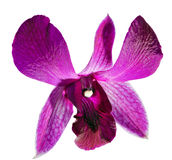 πορφυρό λευκό orchide λουλο&upsi Στοκ φωτογραφία με δικαίωμα ελεύθερης χρήσης