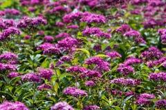 Πορφυρό λιβάδι λουλουδιών στοκ φωτογραφία με δικαίωμα ελεύθερης χρήσης