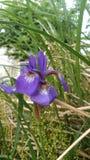 πορφυρό λουλούδι ï ¼ ¡ Στοκ εικόνες με δικαίωμα ελεύθερης χρήσης
