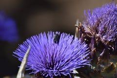 Πορφυρό λουλούδι αγκιναρών με τον κάνθαρο γύρης στοκ εικόνες με δικαίωμα ελεύθερης χρήσης
