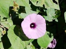 Πορφυρό λουλούδι δόξας πρωινού στο Τέξας Στοκ Εικόνα