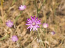 Πορφυρό λουλούδι ετήσιου συνεχούς ή Immortelle, annuum, μακρο εκλεκτική εστίαση Xeranthemum, ρηχό DOF Στοκ Εικόνες