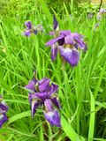 Πορφυρό λουλούδι και πράσινη χλόη στοκ εικόνες