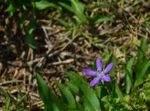 Πορφυρό λουλούδι κοιτάζω-γυαλιού της Αφροδίτης Στοκ Εικόνες