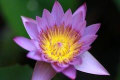 Πορφυρό λουλούδι λωτού ανθών με την κίτρινα γύρη και έξω τα φύλλα λωτού εστίασης Στοκ Εικόνες