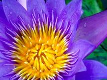 πορφυρό λουλούδι λωτού που ανθίζει μετά από την πτώση βροχής το πρωί Στοκ Εικόνες