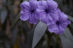 Πορφυρό λουλούδι με ένα σκούρο πράσινο υπόβαθρο στοκ φωτογραφία με δικαίωμα ελεύθερης χρήσης