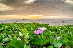Πορφυρό λουλούδι με την ανατολή στη μαύρη παραλία πετρών Στοκ φωτογραφία με δικαίωμα ελεύθερης χρήσης