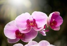 Πορφυρό λουλούδι ορχιδεών Phalaenopsis Στοκ φωτογραφία με δικαίωμα ελεύθερης χρήσης