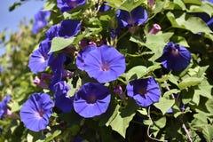 Πορφυρό λουλούδι σαλπίγγων της αναρρίχησης της ένωσης εγκαταστάσεων από έναν πόλο στοκ εικόνες