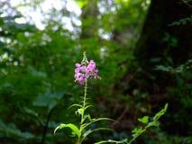 Πορφυρό λουλούδι στο δάσος Στοκ εικόνα με δικαίωμα ελεύθερης χρήσης
