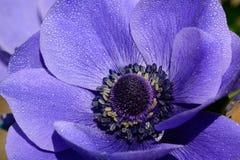 Πορφυρό λουλούδι anemone στην άνθιση Στοκ φωτογραφία με δικαίωμα ελεύθερης χρήσης