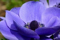 Πορφυρό λουλούδι anemone στην άνθιση Στοκ φωτογραφίες με δικαίωμα ελεύθερης χρήσης