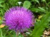 Πορφυρό λουλούδι burdock στοκ εικόνα με δικαίωμα ελεύθερης χρήσης