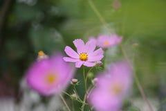 Πορφυρό λουλούδι cosme σε ένα θολωμένο υπόβαθρο του πράσινου κήπου στοκ φωτογραφίες