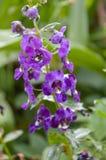 Πορφυρό λουλούδι goyazensis Angelonia στον κήπο φύσης Στοκ Εικόνες