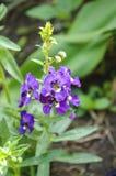 Πορφυρό λουλούδι goyazensis Angelonia στον κήπο φύσης Στοκ Εικόνα