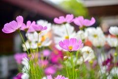 Πορφυρό λουλούδι onsunlight Στοκ Φωτογραφία