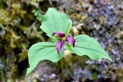 Πορφυρό λουλούδι 02 Trillium Στοκ φωτογραφία με δικαίωμα ελεύθερης χρήσης