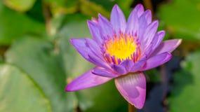 Πορφυρό λουλούδι Waterlily Στοκ εικόνα με δικαίωμα ελεύθερης χρήσης