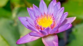 Πορφυρό λουλούδι Waterlily Στοκ εικόνες με δικαίωμα ελεύθερης χρήσης