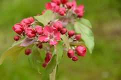 Πορφυρό μήλο λουλουδιών Στοκ Εικόνα